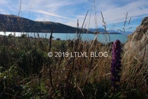 レイクテカポの写真でよく見るルピナスの花