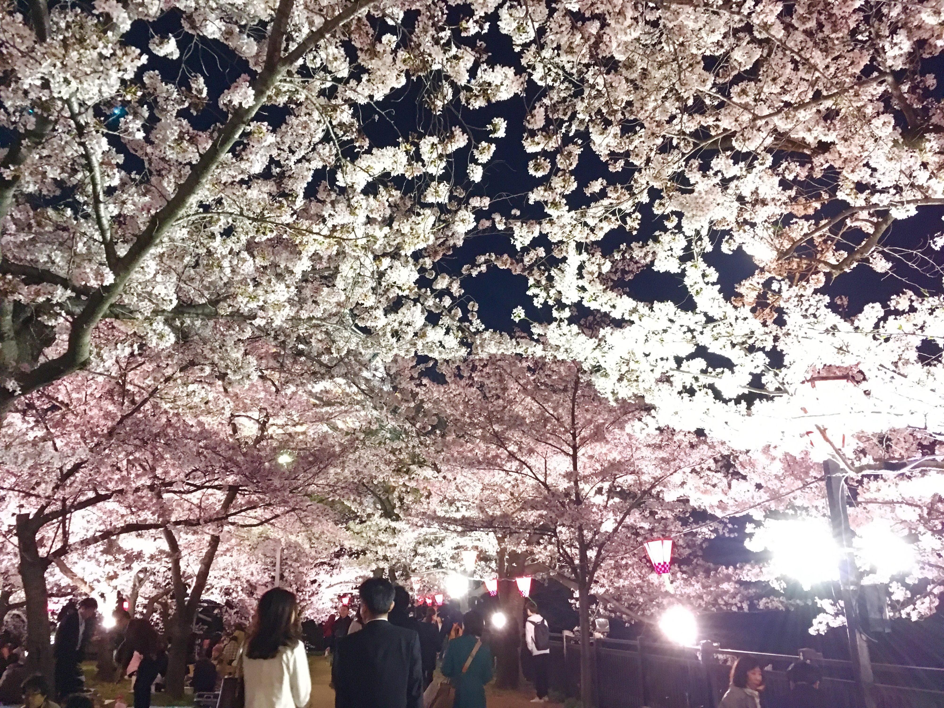 大阪城の夜桜のお花見