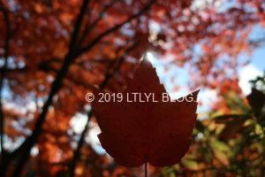 背景をぼかした紅葉