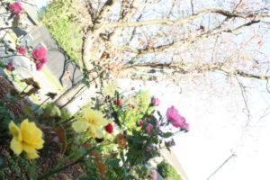庭に咲くバラと桜2