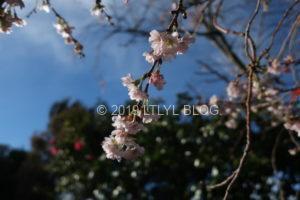季節外れの桜6