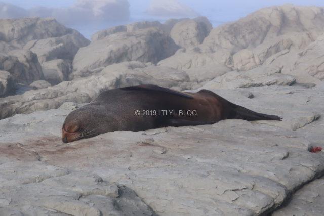 Peninsulaで寝ているオットセイ