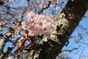季節外れの桜3
