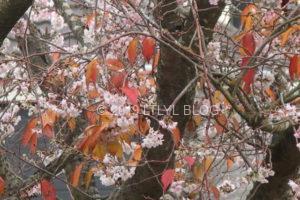 季節外れの桜7