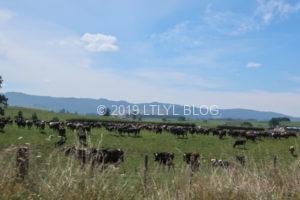 ニュージーランドの牛たち