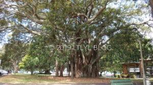 Devonportにある大きな木