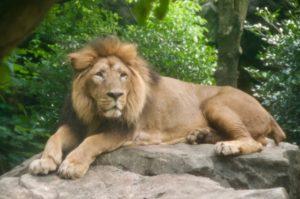 様子をうかがうライオン