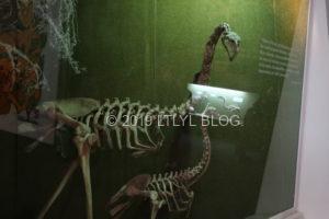 絶滅したモアの骨格標本