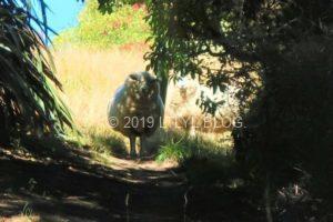 こっちを見つめる羊たち