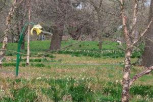 ボタニカルガーデンに咲いているラッパ水仙
