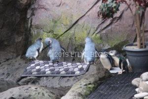 世界最小のブルーペンギン