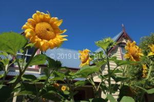 夏場にはひまわりが咲き誇るアカロア