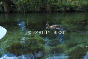 エイボン川でカモと一緒にカヤックを漕ぐ