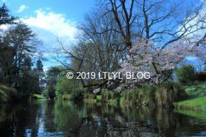 エイボン川から見える桜