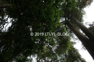 リッカートンの公園にある大きな木