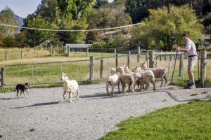 牧羊犬が大活躍